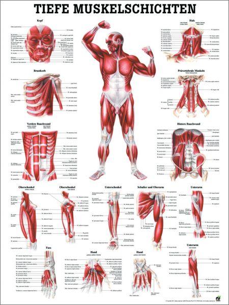 Lehrtafel Tiefe Muskelschichten (vorne)