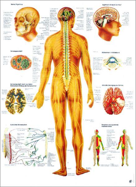 Lehrtafel Nervensystem des Menschen
