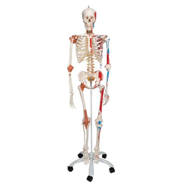 "Homo-Skelett - ""SAM"" auf Rollenstativ"
