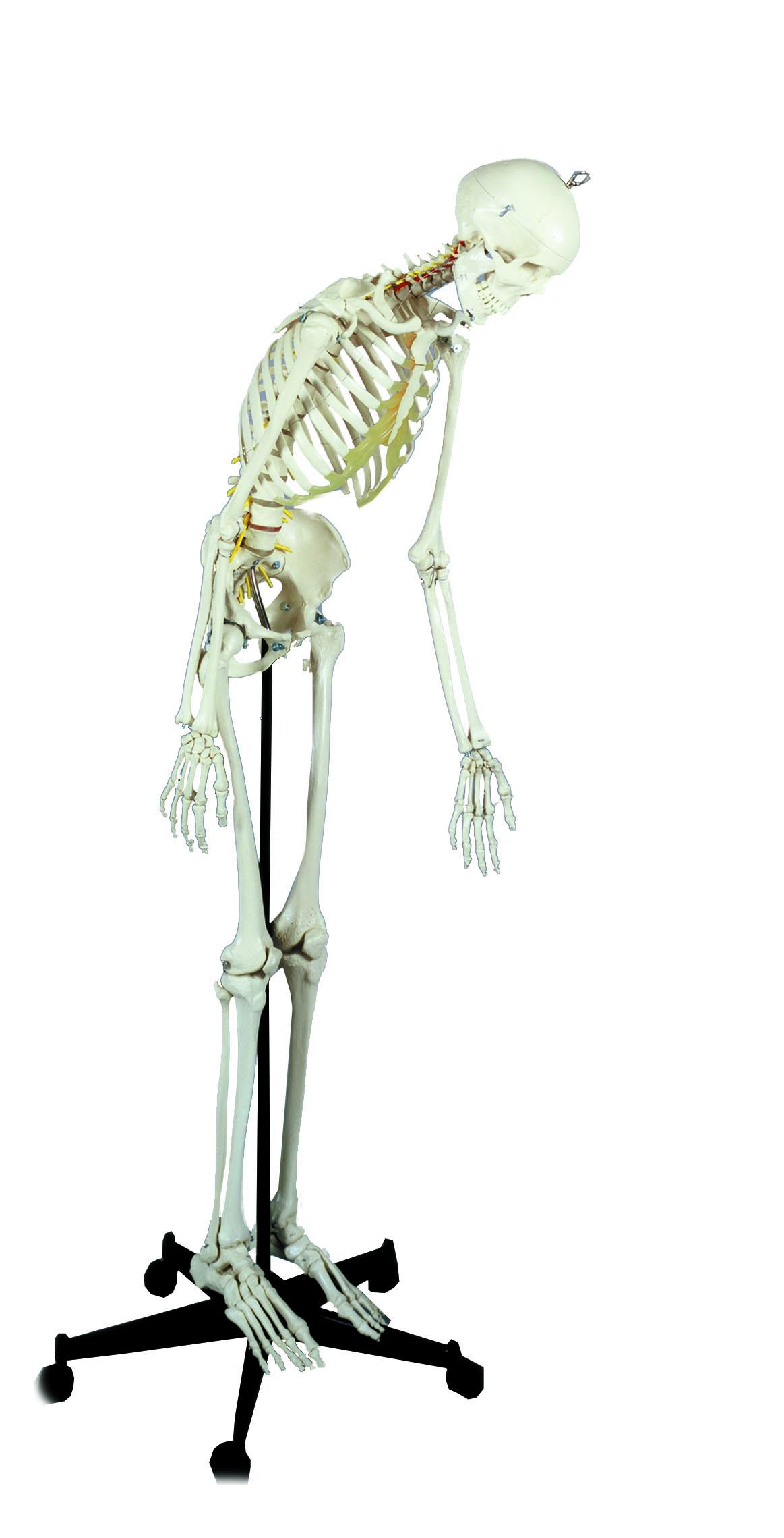 Homo-Skelett flexibel   FREI Online Shop