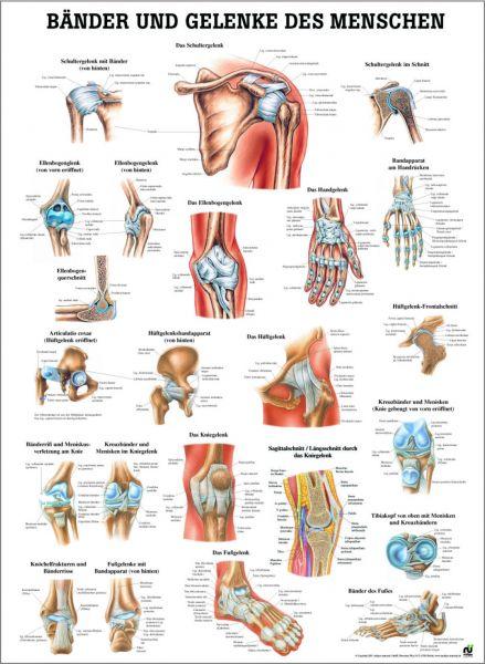Lehrtafel Bänder und Gelenke