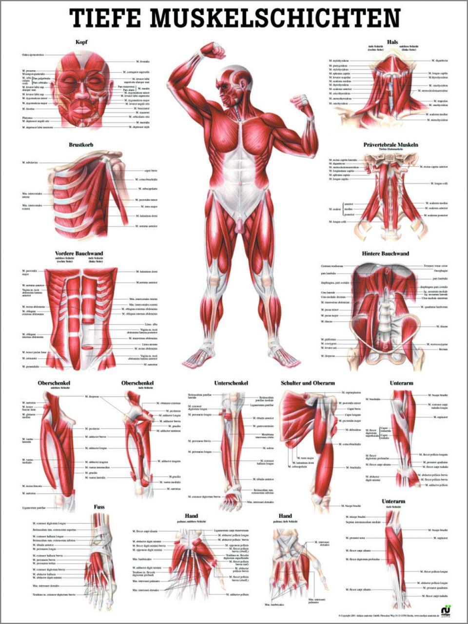Wunderbar Hintere Bauchwand Anatomie Ideen - Anatomie Ideen ...