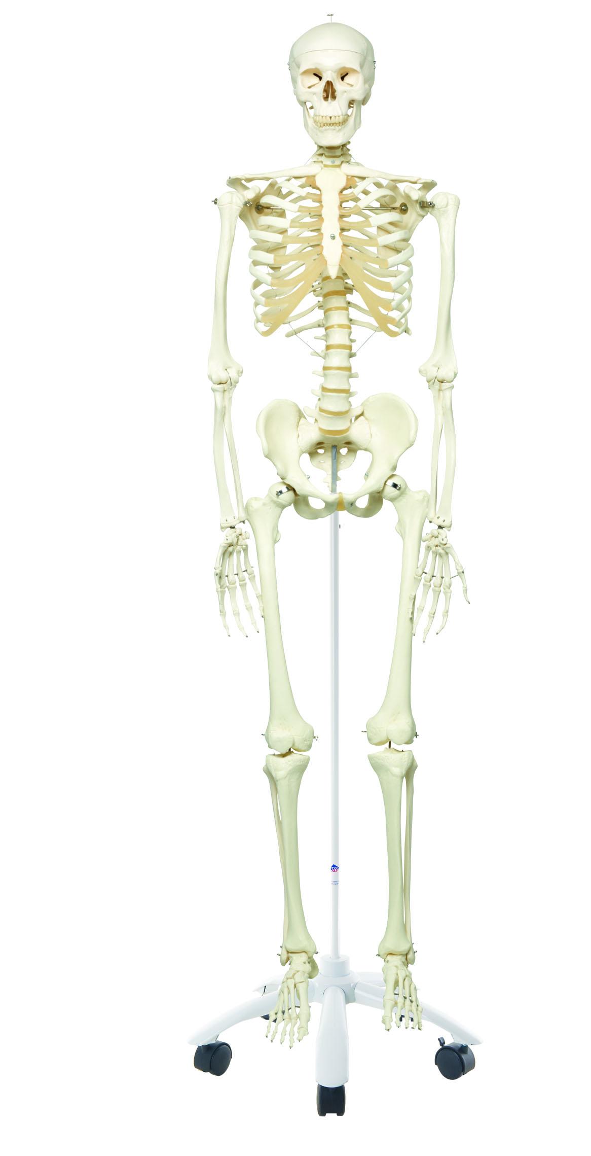 Homo-Skelett \