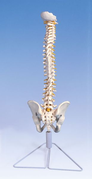 Wirbelsäule, flexibel